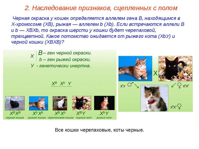 Черная окраска у кошек определяется аллелем гена В, находящимся в Х-хромосоме...