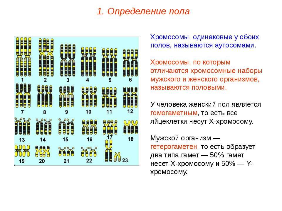 Хромосомы, одинаковые у обоих полов, называются аутосомами. Хромосомы, по кот...