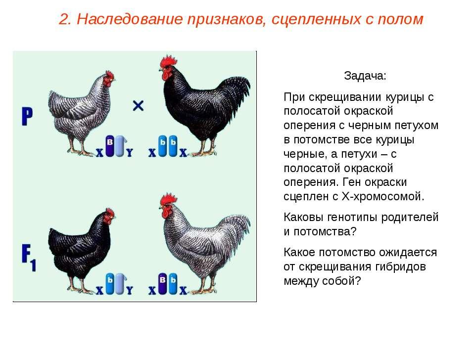 Задача: При скрещивании курицы с полосатой окраской оперения с черным петухом...