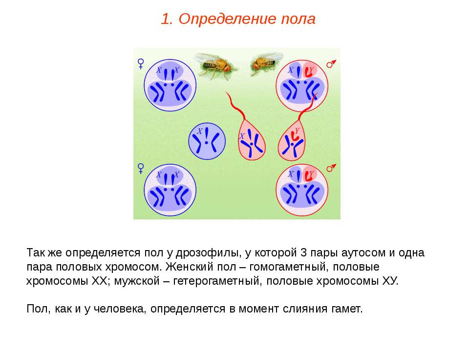 Так же определяется пол у дрозофилы, у которой 3 пары аутосом и одна пара пол...