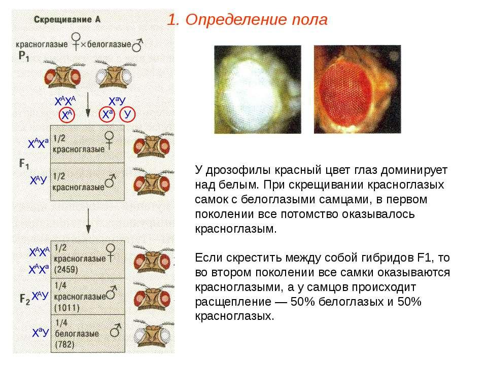 У дрозофилы красный цвет глаз доминирует над белым. При скрещивании красногла...