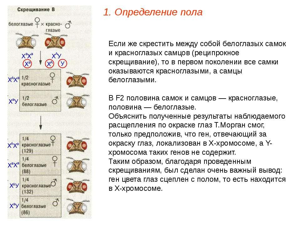 Если же скрестить между собой белоглазых самок и красноглазых самцов (реципро...