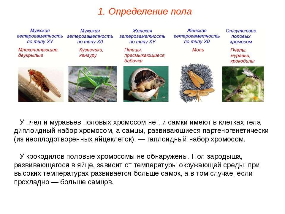 У пчел и муравьев половых хромосом нет, и самки имеют в клетках тела диплоидн...