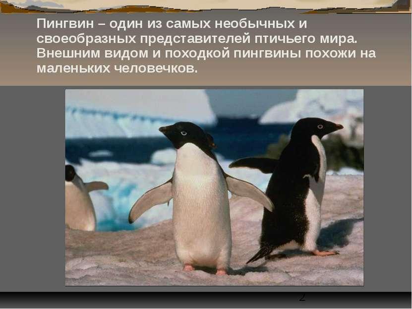 Пингвин – один из самых необычных и своеобразных представителей птичьего мира...