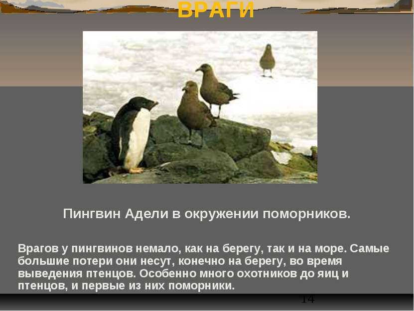 ВРАГИ Пингвин Адели в окружении поморников. Врагов у пингвинов немало, как на...