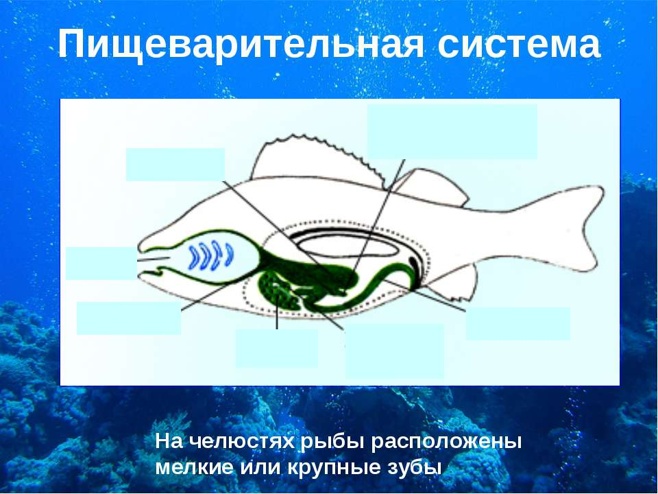 Пищеварительная система На челюстях рыбы расположены мелкие или крупные зубы