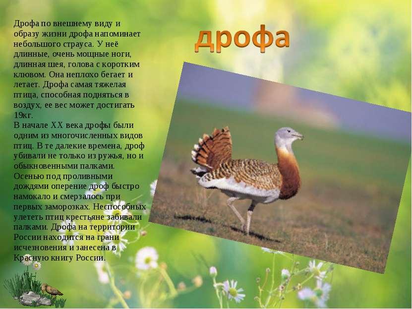 Дрофа по внешнему виду и образу жизни дрофа напоминает небольшого страуса. У ...