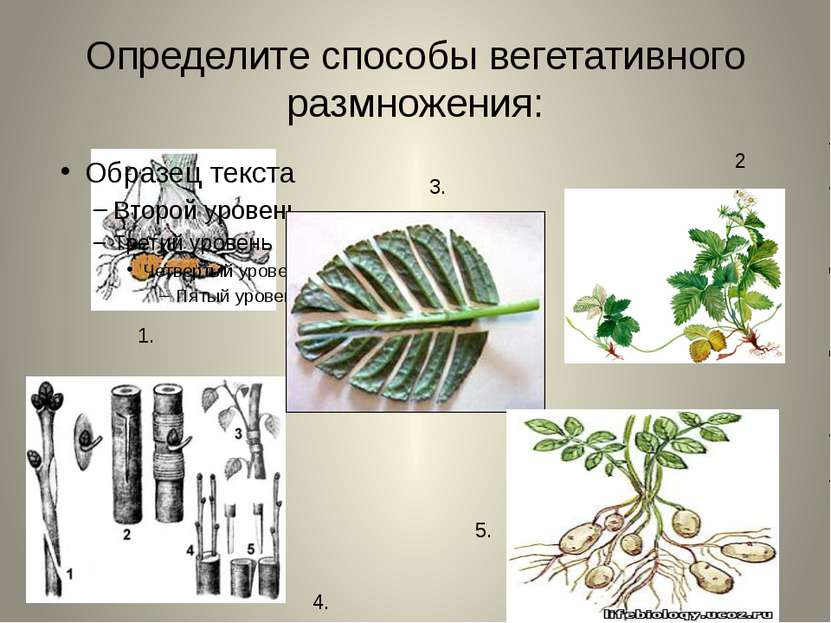 Определите способы вегетативного размножения: 1. 3. 4. 2. 5.