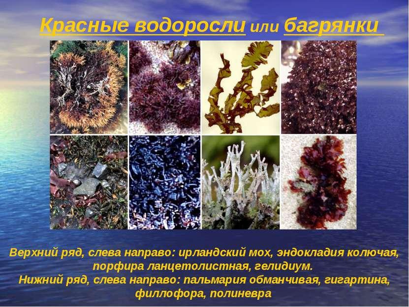 Красные водоросли или багрянки Верхний ряд, слева направо: ирландский мох, эн...