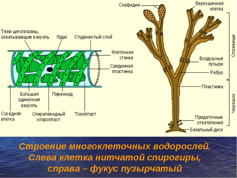 Строение многоклеточных водорослей. Слева клетка нитчатой спирогиры, справа –...