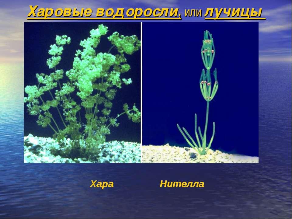 Харовые водоросли, или лучицы Хара Нителла