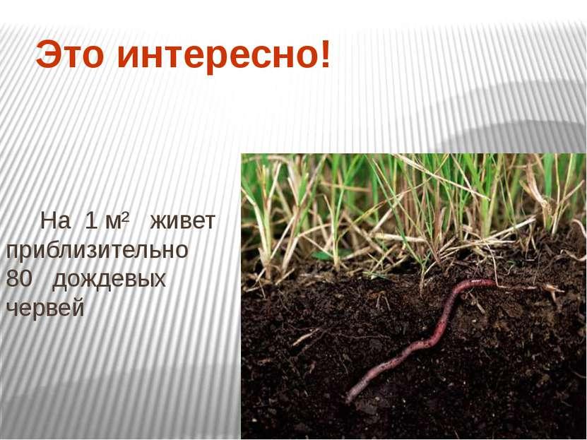 Это интересно! На 1 м² живет приблизительно 80 дождевых червей