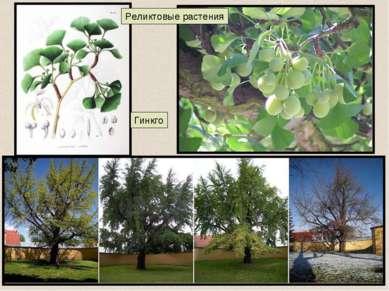Гинкго Реликтовые растения