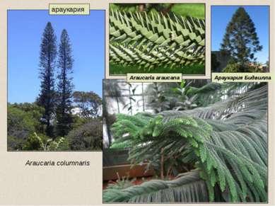 араукария Araucaria columnaris Араукария Бидвилла Araucaria araucana