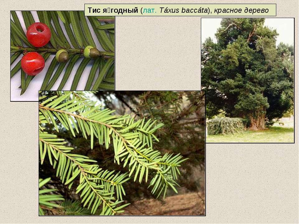 Тис я годный (лат.Táxus baccáta), красное дерево