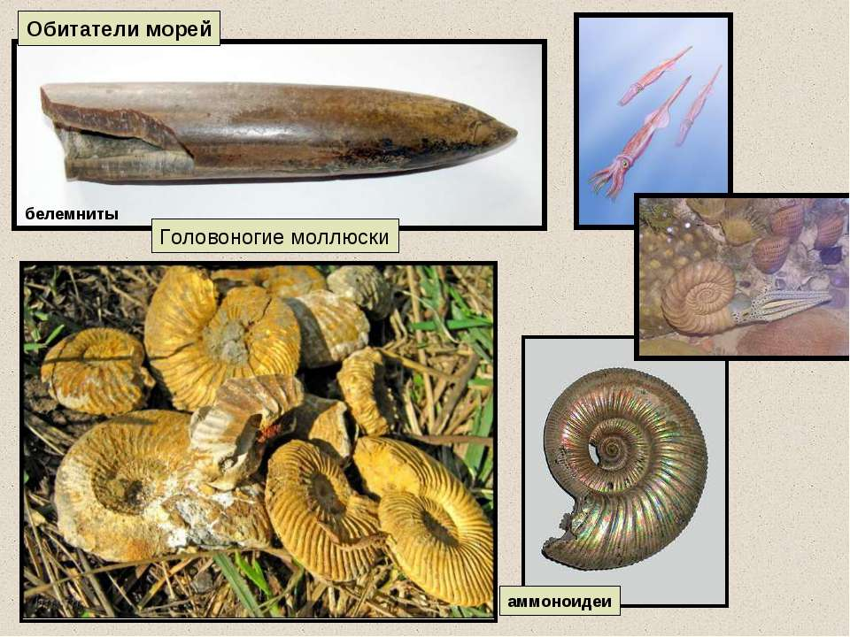 аммоноидеи Обитатели морей Головоногие моллюски белемниты