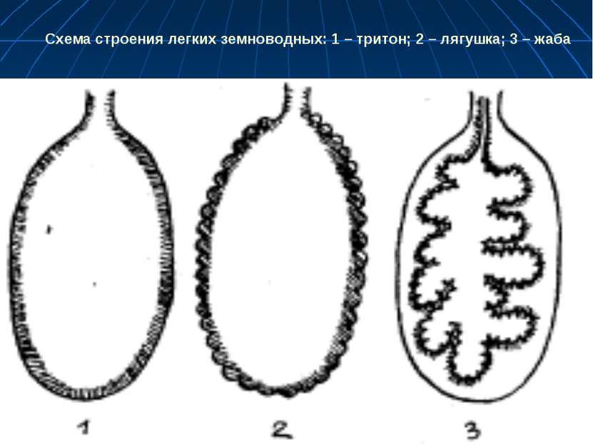 Схема строения легких земноводных: 1 – тритон; 2 – лягушка; 3 – жаба
