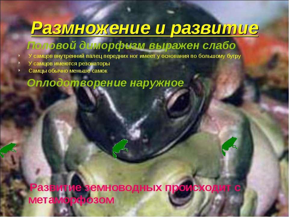 Размножение и развитие Половой диморфизм выражен слабо У самцов внутренний па...