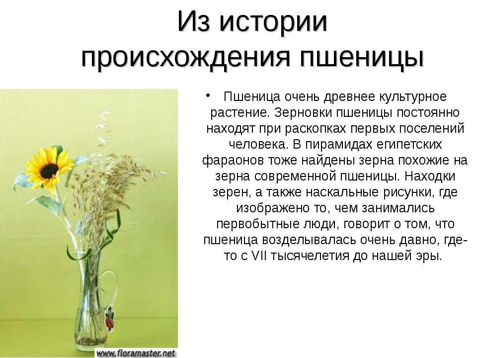 Из истории происхождения пшеницы Пшеница очень древнее культурное растение. З...