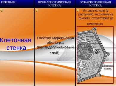 Клеточная стенка Толстая муреиновая оболочка (пептидогликановый слой) Клеточн...