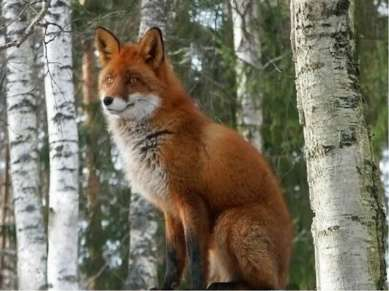 В лесу обитает, Дичью питается да в курятник забирается, хитрым зверем назы...