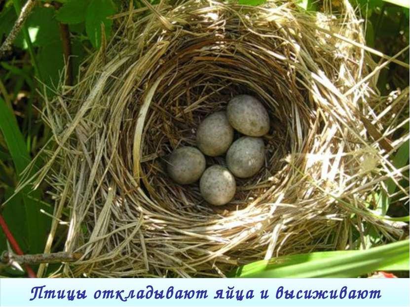 Птицы откладывают яйца и высиживают птенцов.
