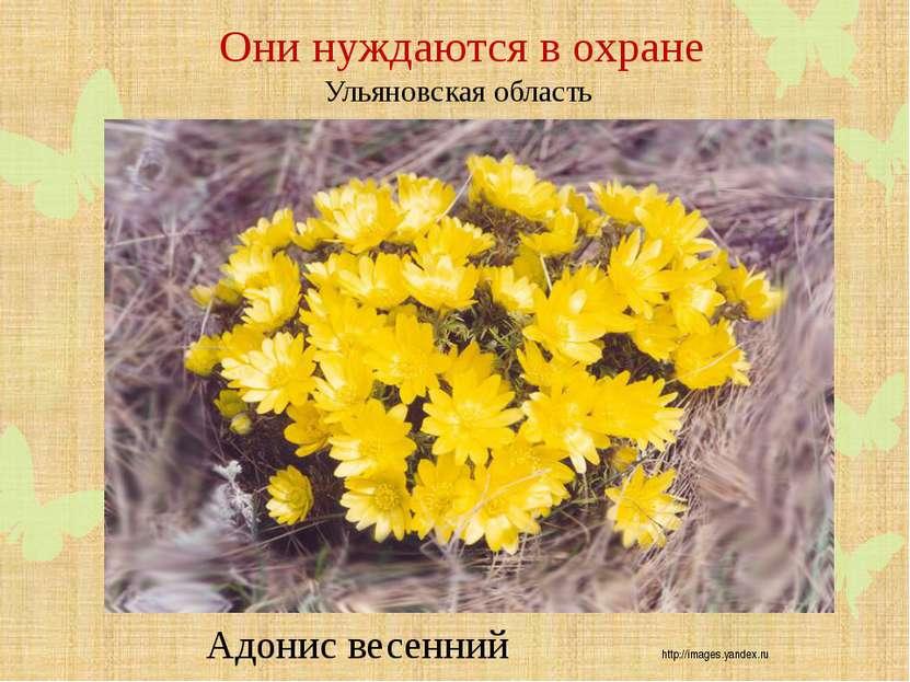 Они нуждаются в охране Ульяновская область Адонис весенний http://images.yand...