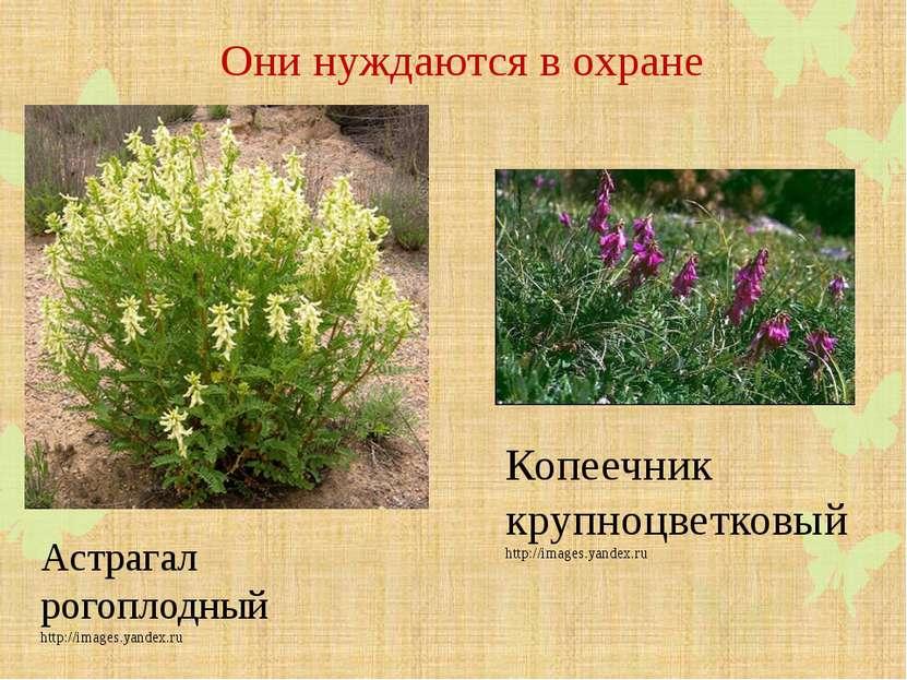 Они нуждаются в охране Астрагал рогоплодный http://images.yandex.ru Копеечник...