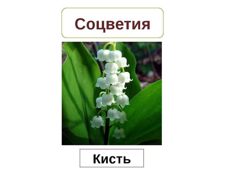 Соцветия Кисть