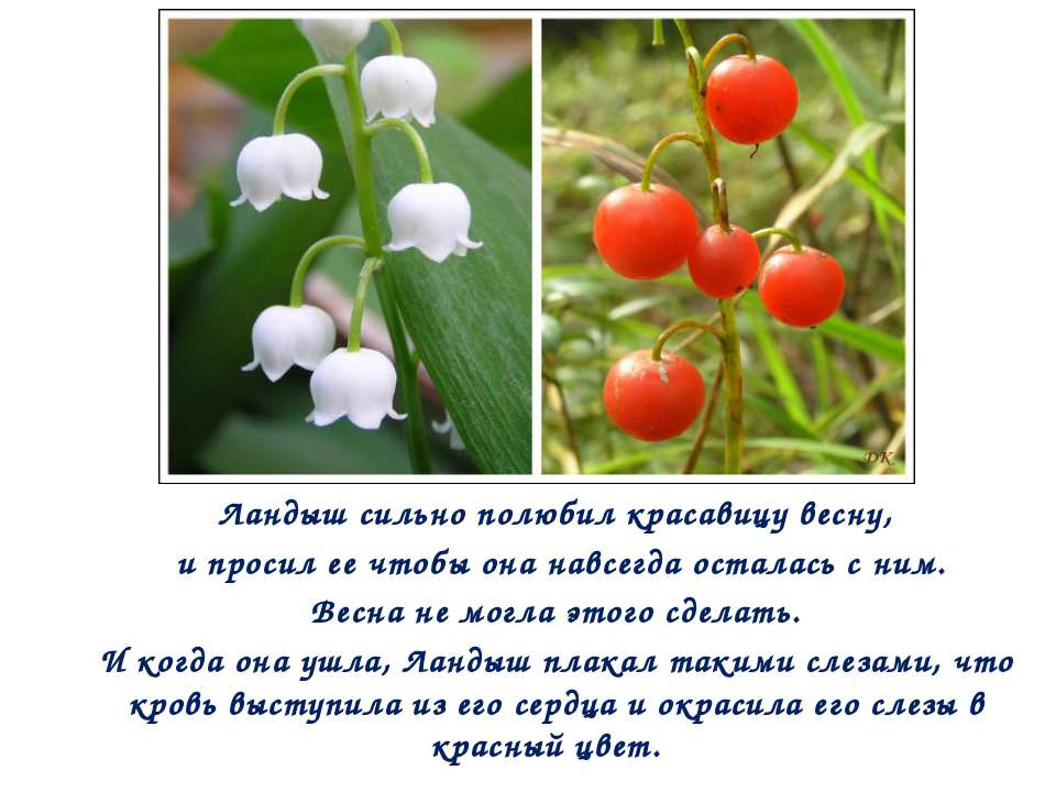 Ландыш сильно полюбил красавицу весну, и просил ее чтобы она навсегда осталас...