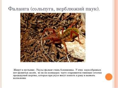 Фаланга (сольпуга, верблюжий паук). Живут в пустынях . Укусы фаланг очень бол...