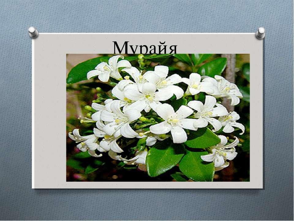 Мурайя