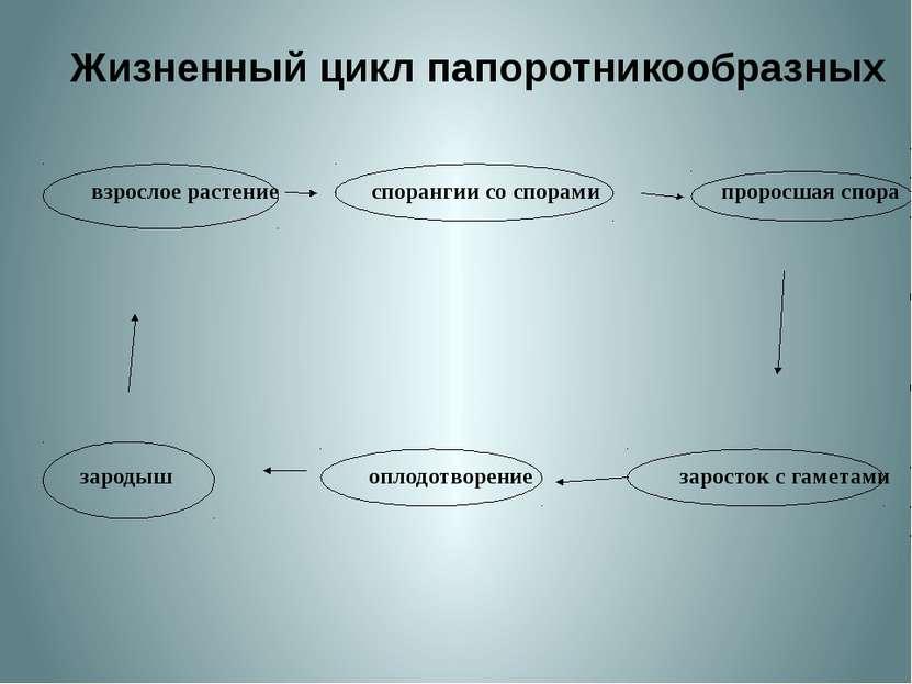 Жизненный цикл папоротникообразных взрослое растение спорангии со спорами про...