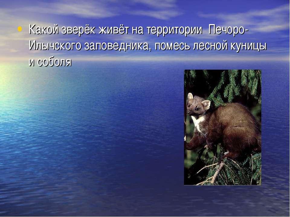Какой зверёк живёт на территории Печоро-Илычского заповедника, помесь лесной ...