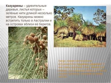 Казуарины – удивительные деревья, листья которых – зелёные нити длиной нескол...