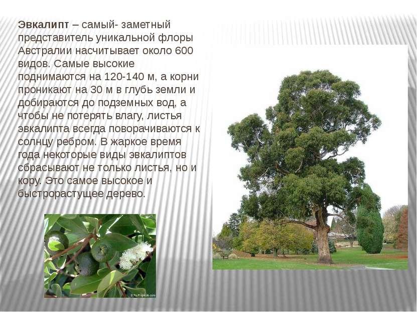 Эвкалипт – самый- заметный представитель уникальной флоры Австралии насчитыва...