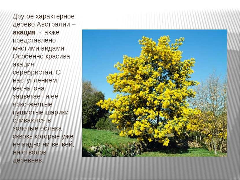 Другое характерное дерево Австралии – акация -также представлено многими вида...