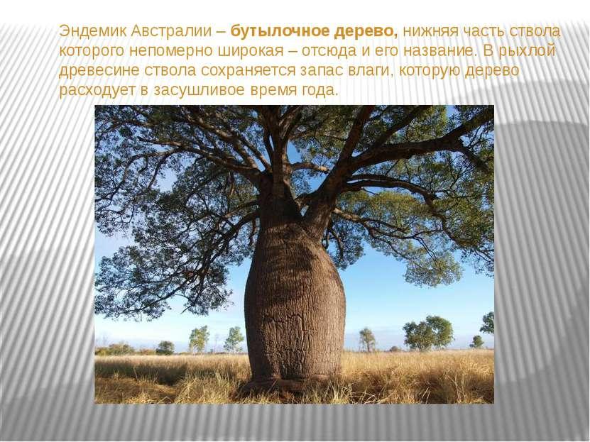 Эндемик Австралии – бутылочное дерево, нижняя часть ствола которого непомерно...