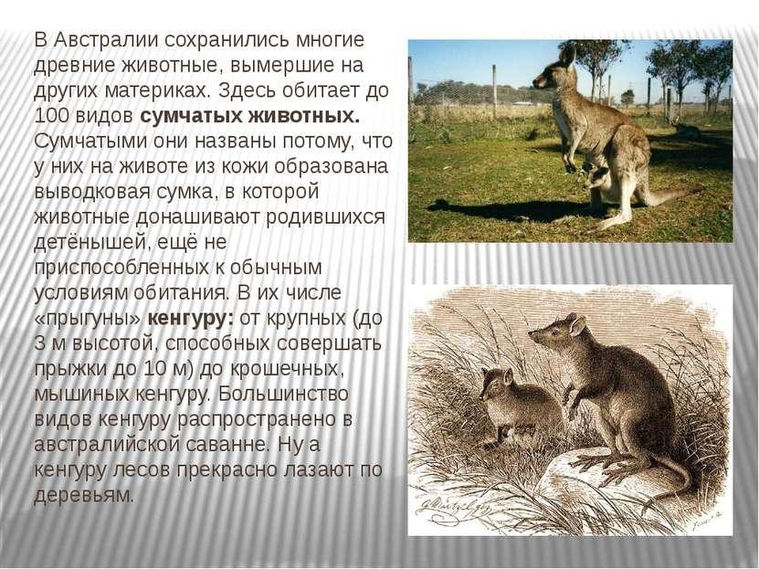 В Австралии сохранились многие древние животные, вымершие на других материках...