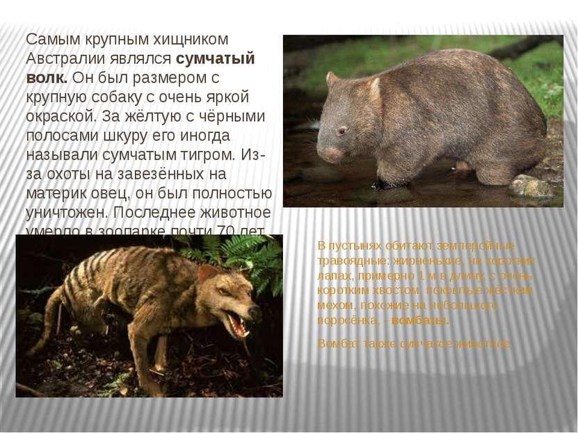 Самым крупным хищником Австралии являлся сумчатый волк. Он был размером с кру...