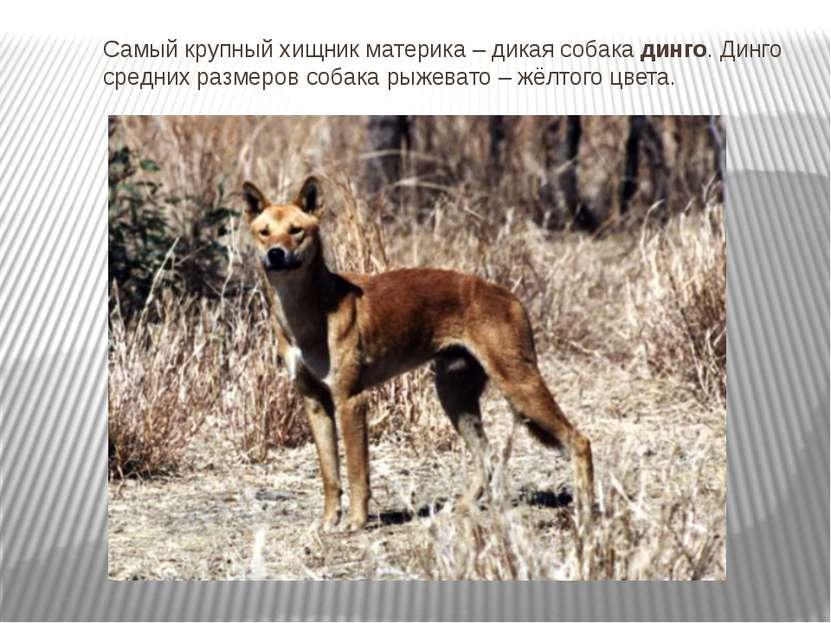 Самый крупный хищник материка – дикая собака динго. Динго средних размеров со...