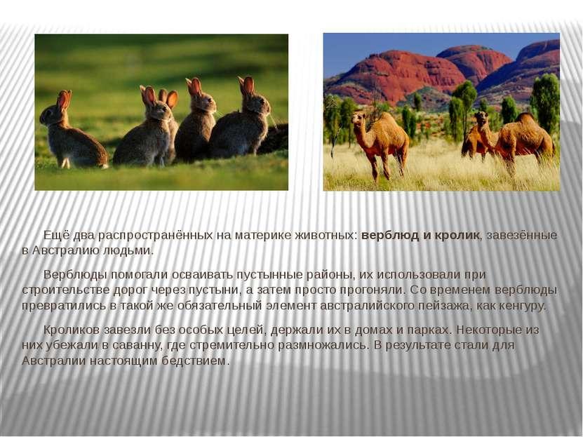 Ещё два распространённых на материке животных: верблюд и кролик, завезённые в...