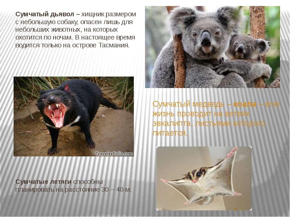 Сумчатый дьявол – хищник размером с небольшую собаку, опасен лишь для небольш...