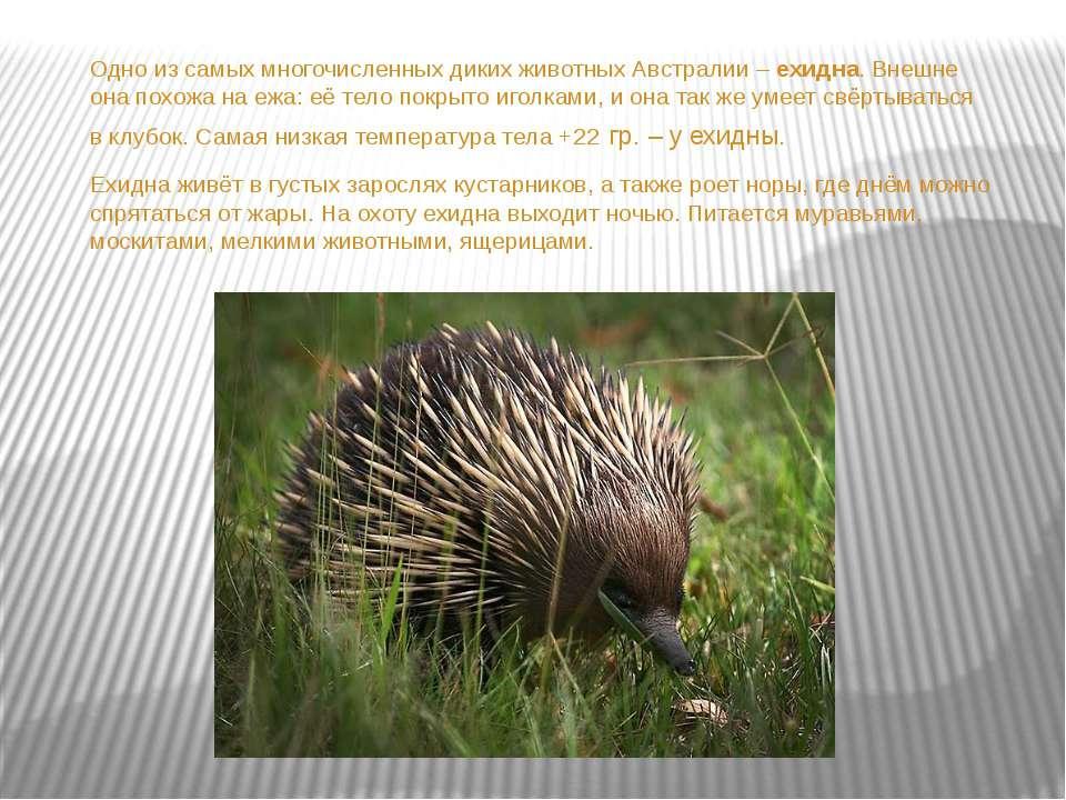 Одно из самых многочисленных диких животных Австралии – ехидна. Внешне она по...