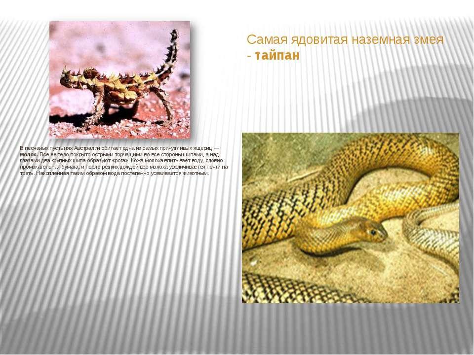 Самая ядовитая наземная змея - тайпан В песчаных пустынях Австралии обитает о...