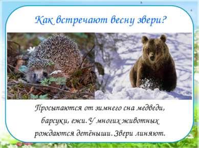 Как встречают весну звери? Просыпаются от зимнего сна медведи, барсуки, ежи. ...