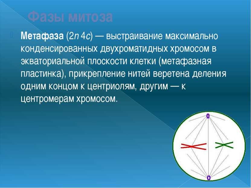 Фазы митоза Метафаза (2n 4c) — выстраивание максимально конденсированных двух...
