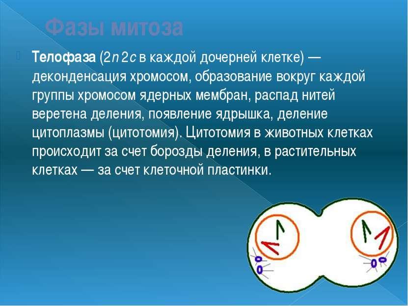 Фазы митоза Телофаза (2n 2c в каждой дочерней клетке) — деконденсация хромосо...