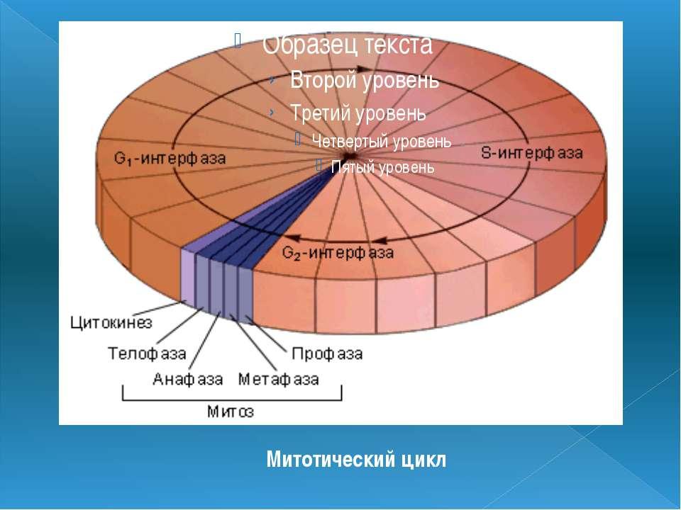 Митотический цикл