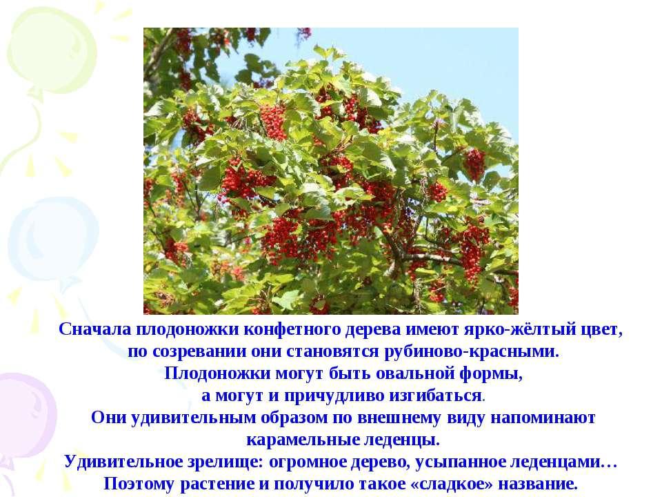 Сначала плодоножки конфетного дерева имеют ярко-жёлтый цвет, по созревании он...